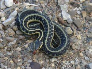 Garter-snake-boarding
