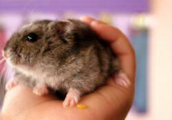 Hamster-home -boarding