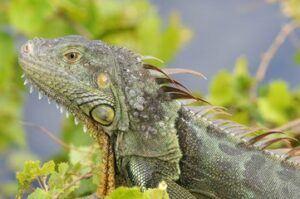 Green-iguana-home-boarding