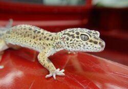 Leopard-gecko-boarding