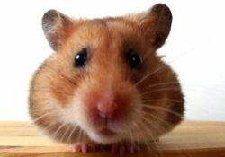 Pet hamster care