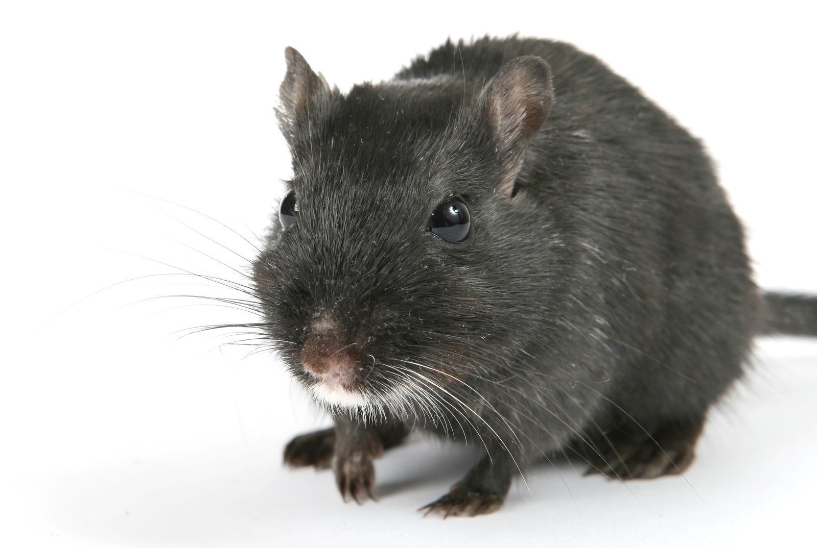Looking after pet rats